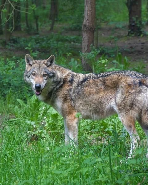 De wolf komt naar HIlvarenbeek !